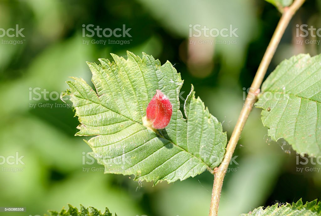 Tetraneura Caerulescens on an Elm stock photo