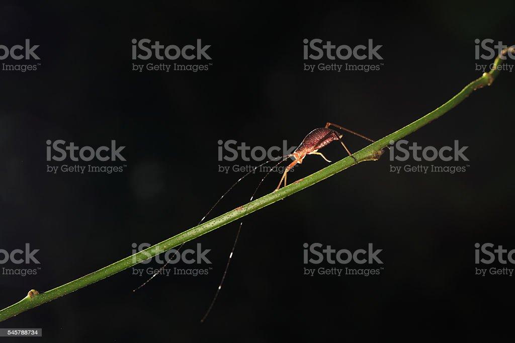 Tettigonia viridissima stock photo