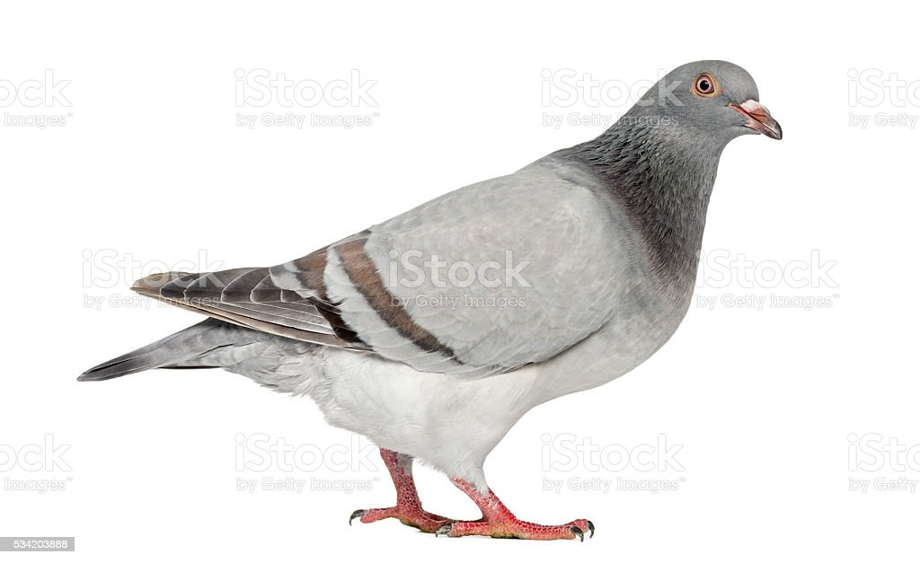 Texan Pioneer Pigeon isolated on white stock photo