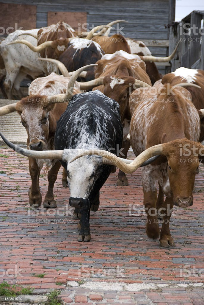 Texas Beef Cattle stock photo