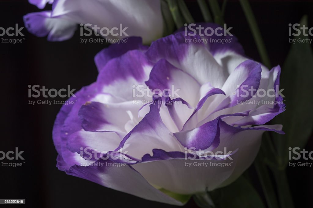 texas blue bell royalty-free stock photo