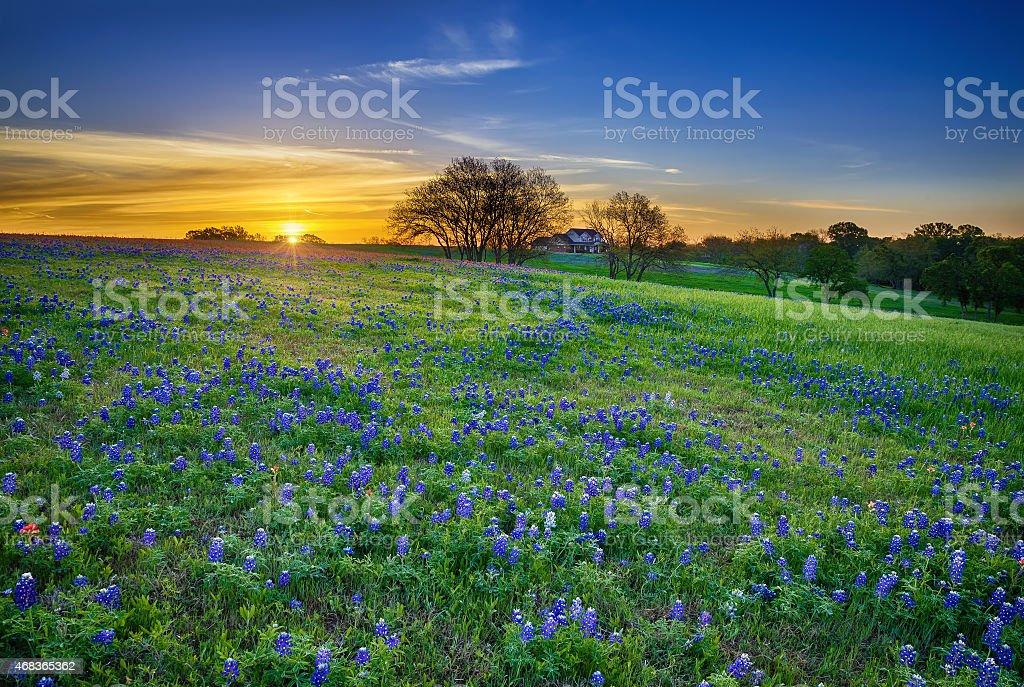 Texas bluebonnet field at sunrise stock photo