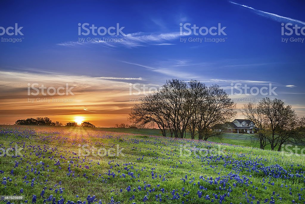 Texas bluebonnet field at sunrise stock photo