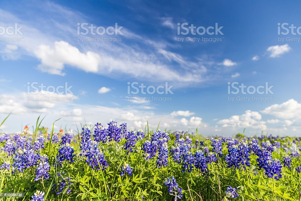 Texas Bluebonnet filed and blue sky in Ennis.. stock photo
