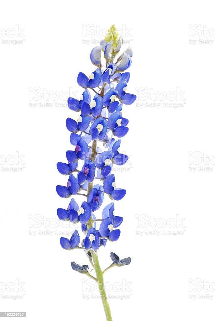 Texas Bluebonnet (Lupinus texensis ) stock photo