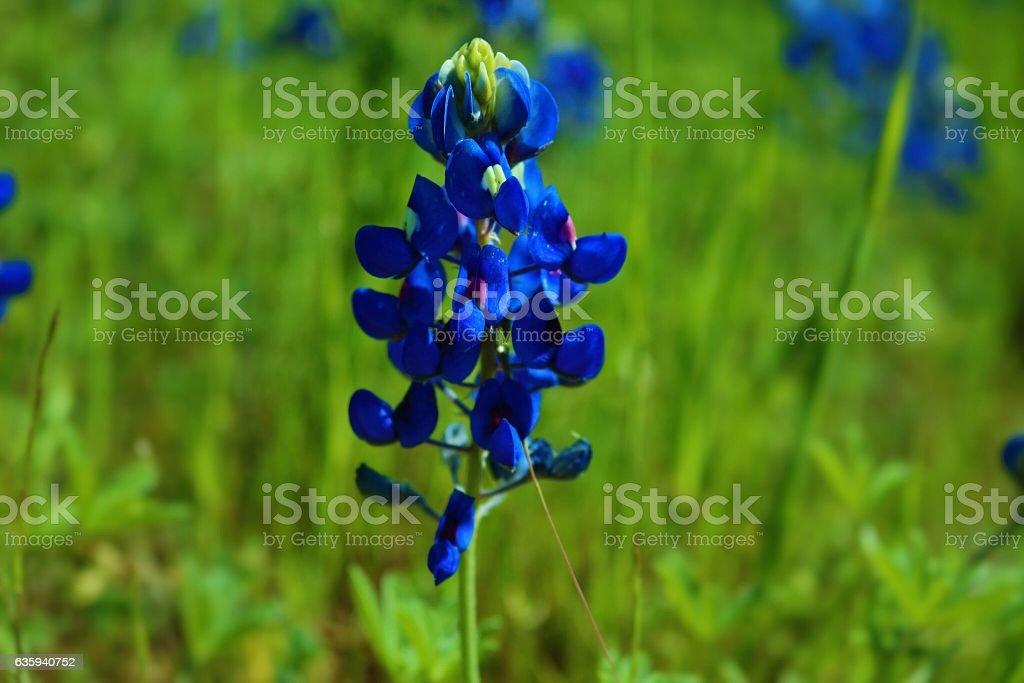 Texas Bluebonnet stock photo
