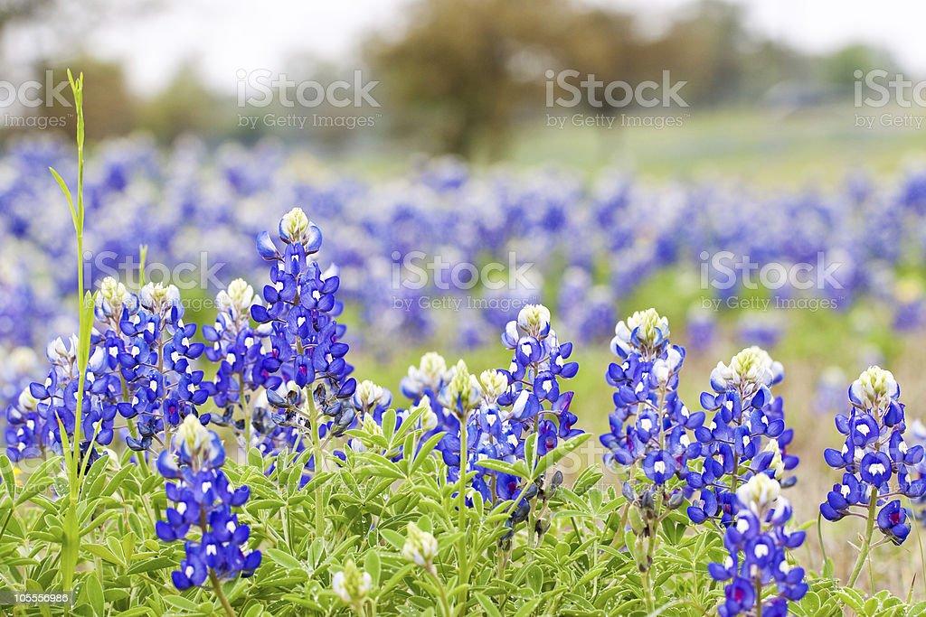 Texas Bluebonnet wildflowers stock photo