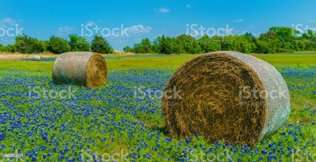Texas Bluebonnets and hay bales. stock photo