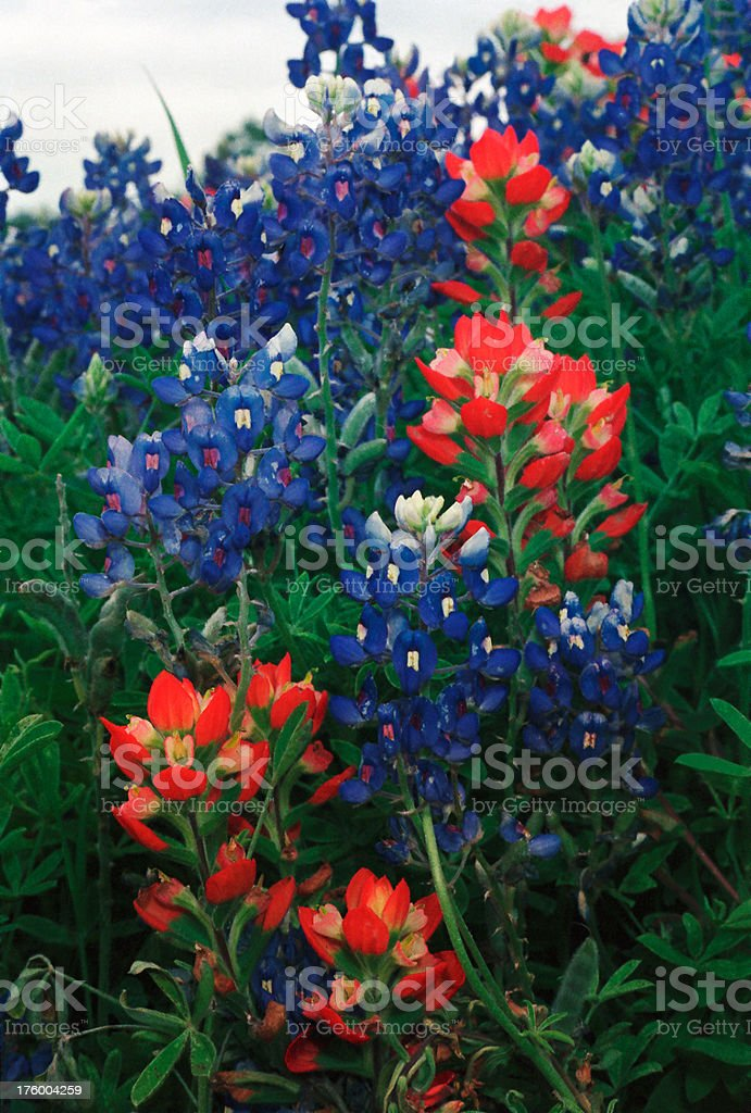 Texas Bluebonnets and Indian Paintbrush stock photo