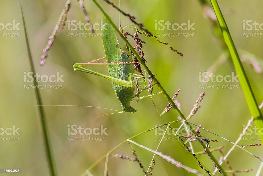 Texas Bush Katydid (Female) royalty-free stock photo