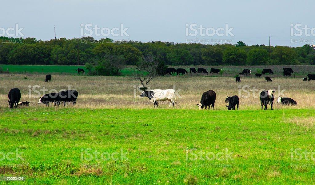 Texas Cattle Ranch Milk Steak Meat Slaughter stock photo