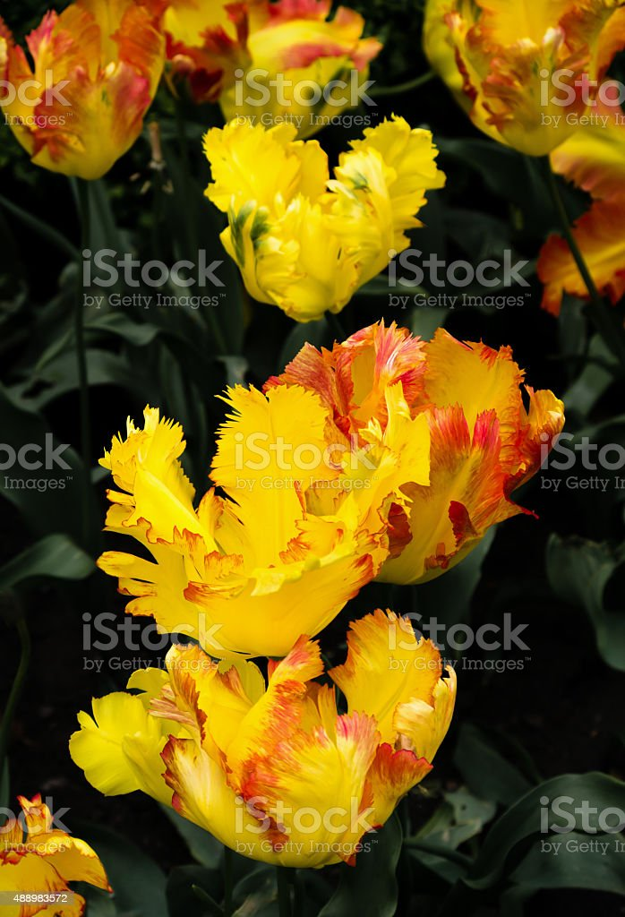 Texas Gold parrot tulips, Tulipa x hybrida, flowers stock photo