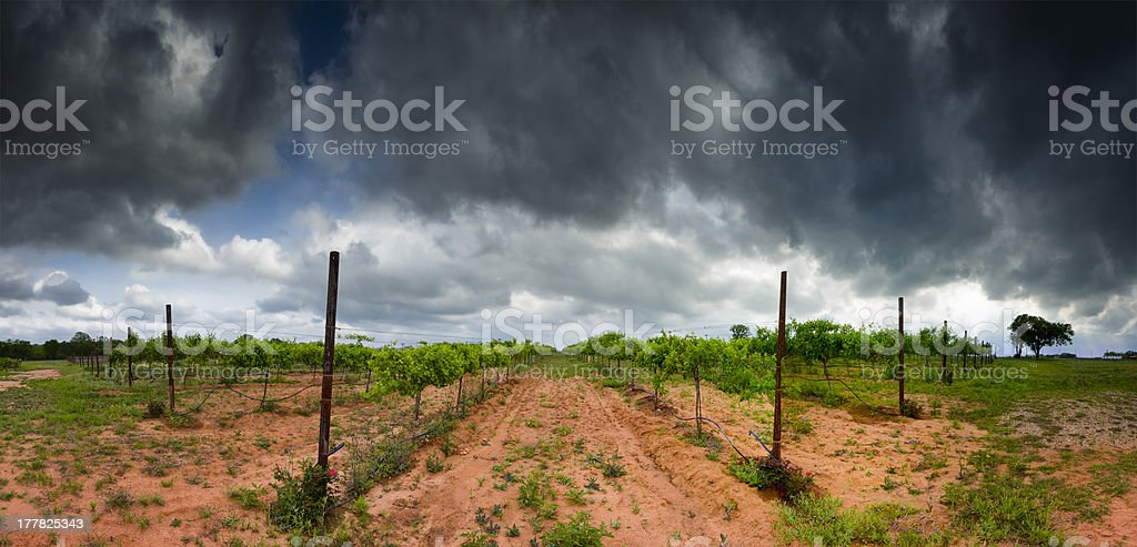 Texas Hill Country Vineyard royalty-free stock photo