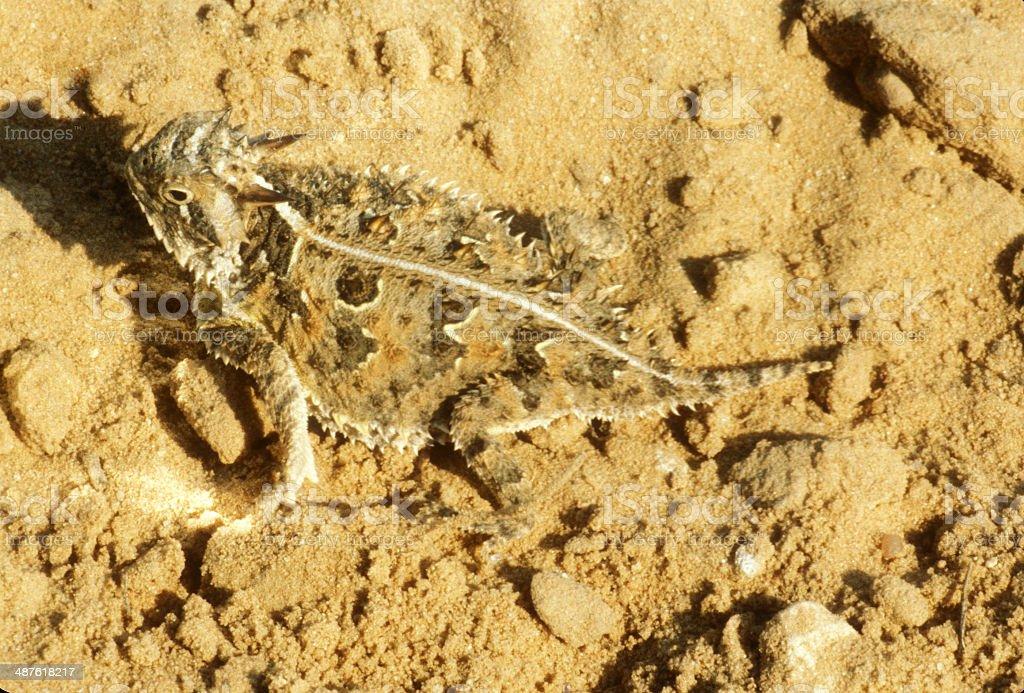 Texas Horned Lizard on Sandy Soil stock photo