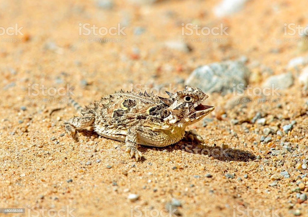 Texas horned lizard stock photo