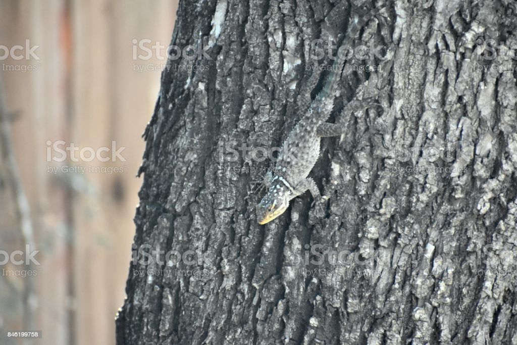 Texas Lizard stock photo