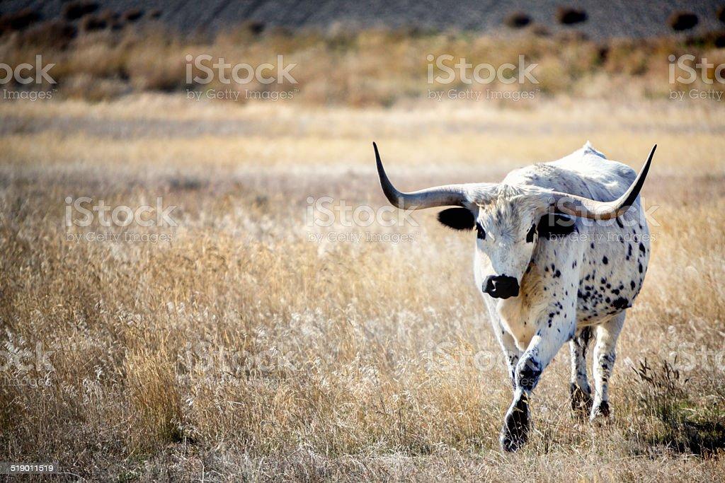Texas Long Horn stock photo