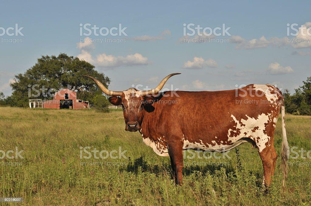 Texas Longhorn Barn royalty-free stock photo