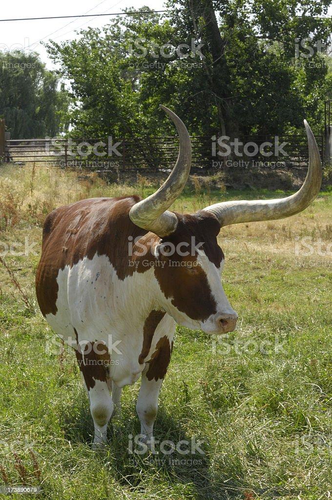 Texas Longhorn Bull on the grass royalty-free stock photo