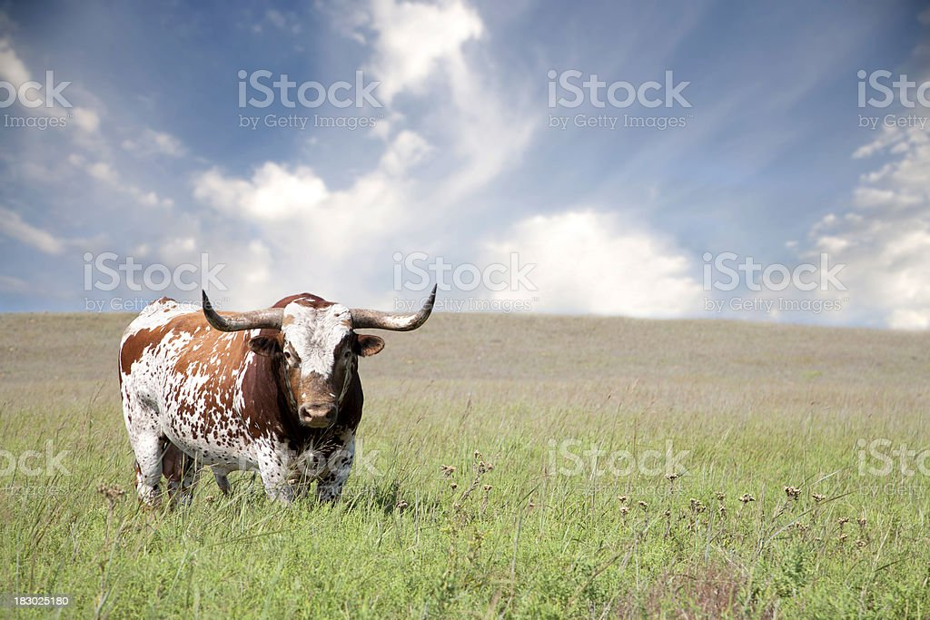 Texas Longhorn Bull stock photo