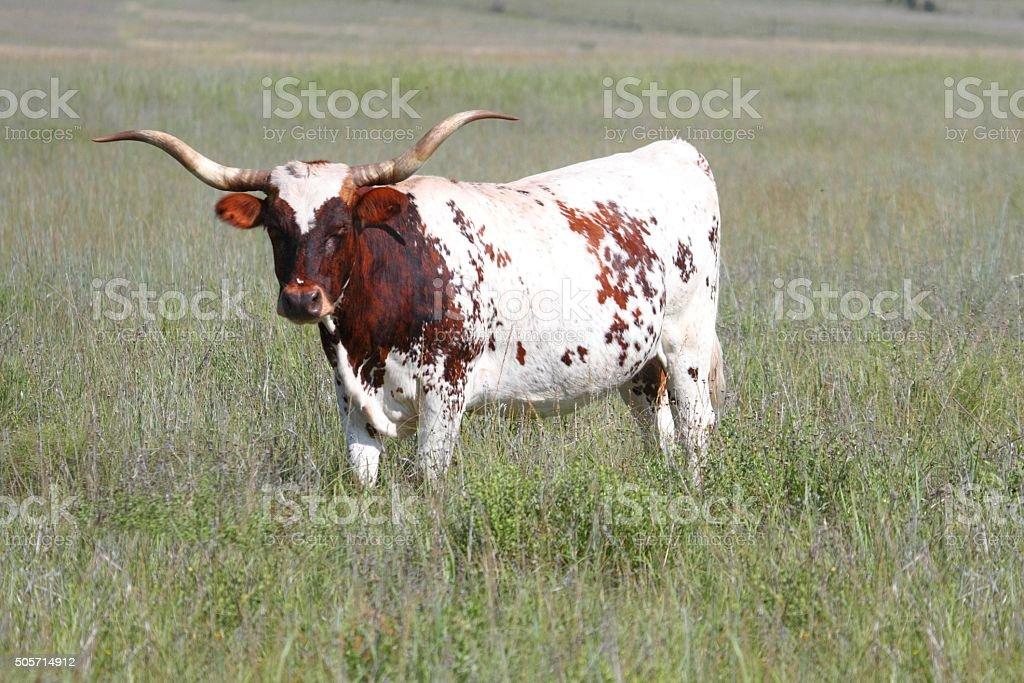 Texas Longhorn Bull stock photo
