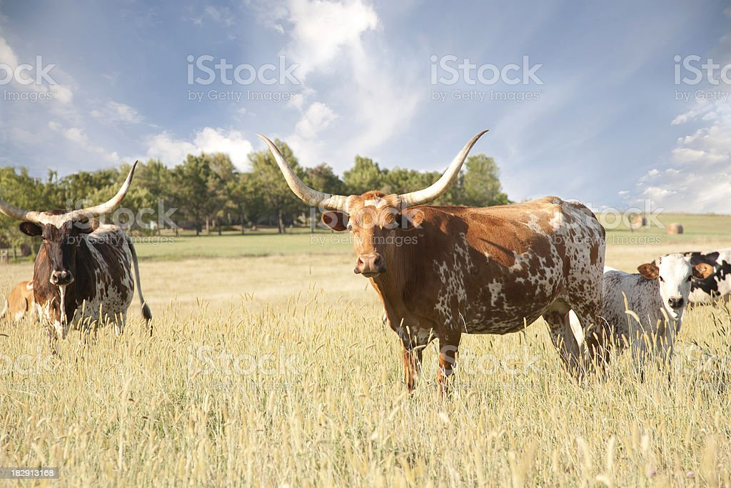 Texas Longhorn Calf / Cow In Field royalty-free stock photo