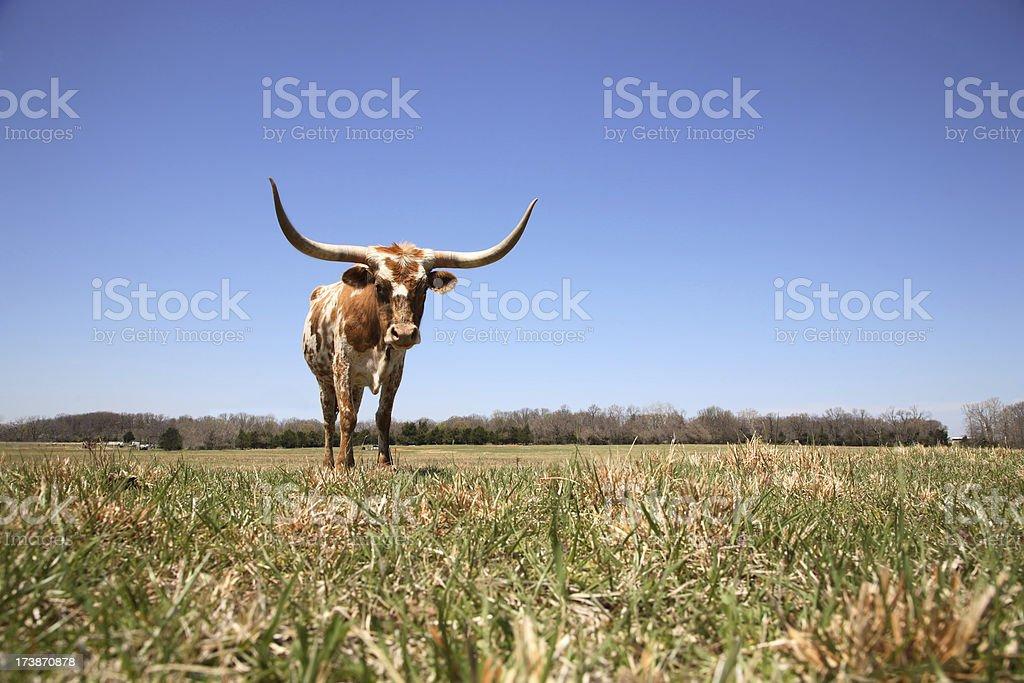 Texas Longhorn Calf / Cow stock photo