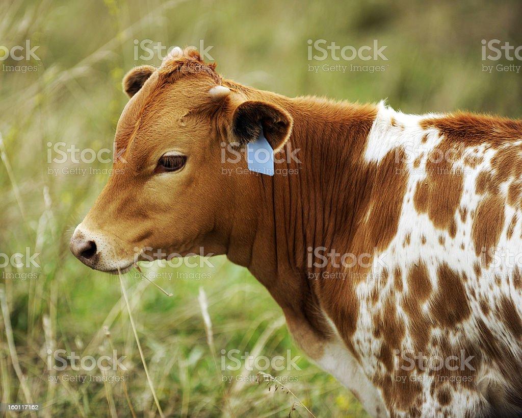 Texas Longhorn Calf royalty-free stock photo