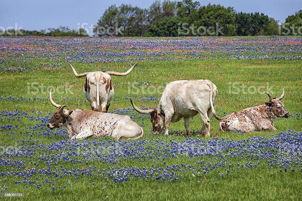 Texas longhorn cattle in bluebonnets stock photo