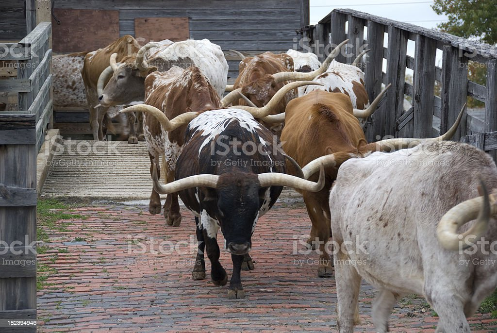 Texas Longhorn Cattle royalty-free stock photo