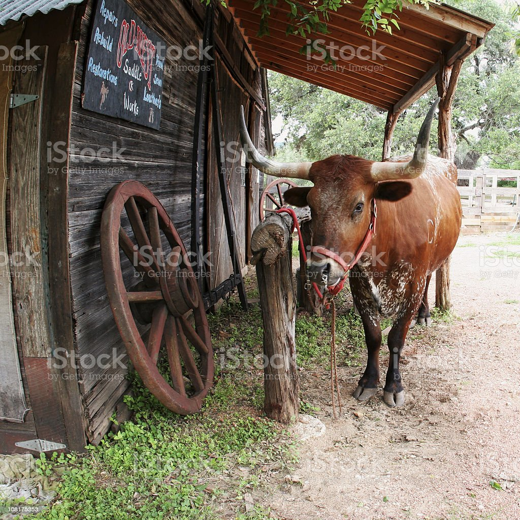 Texas Longhorn Cattle Tied to Fence Post at Ranch stock photo
