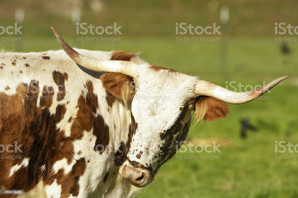 Texas Longhorn Cow in Pasture royalty-free stock photo