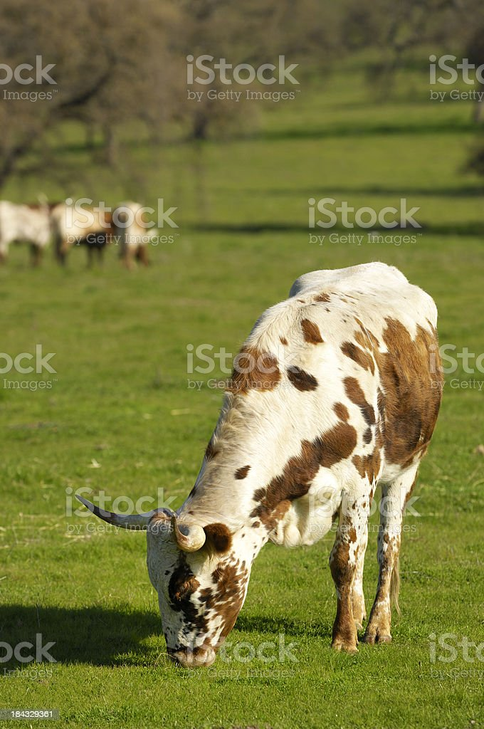 Texas Longhorn Cows Grazing in Field royalty-free stock photo