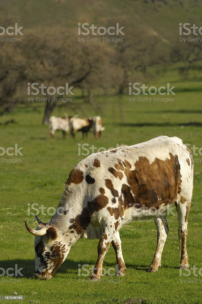 Texas Longhorn Cows in Pasture royalty-free stock photo