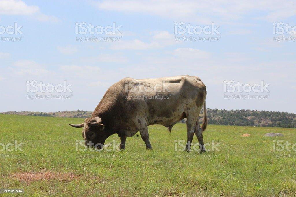 Texas Longhorn grazing stock photo