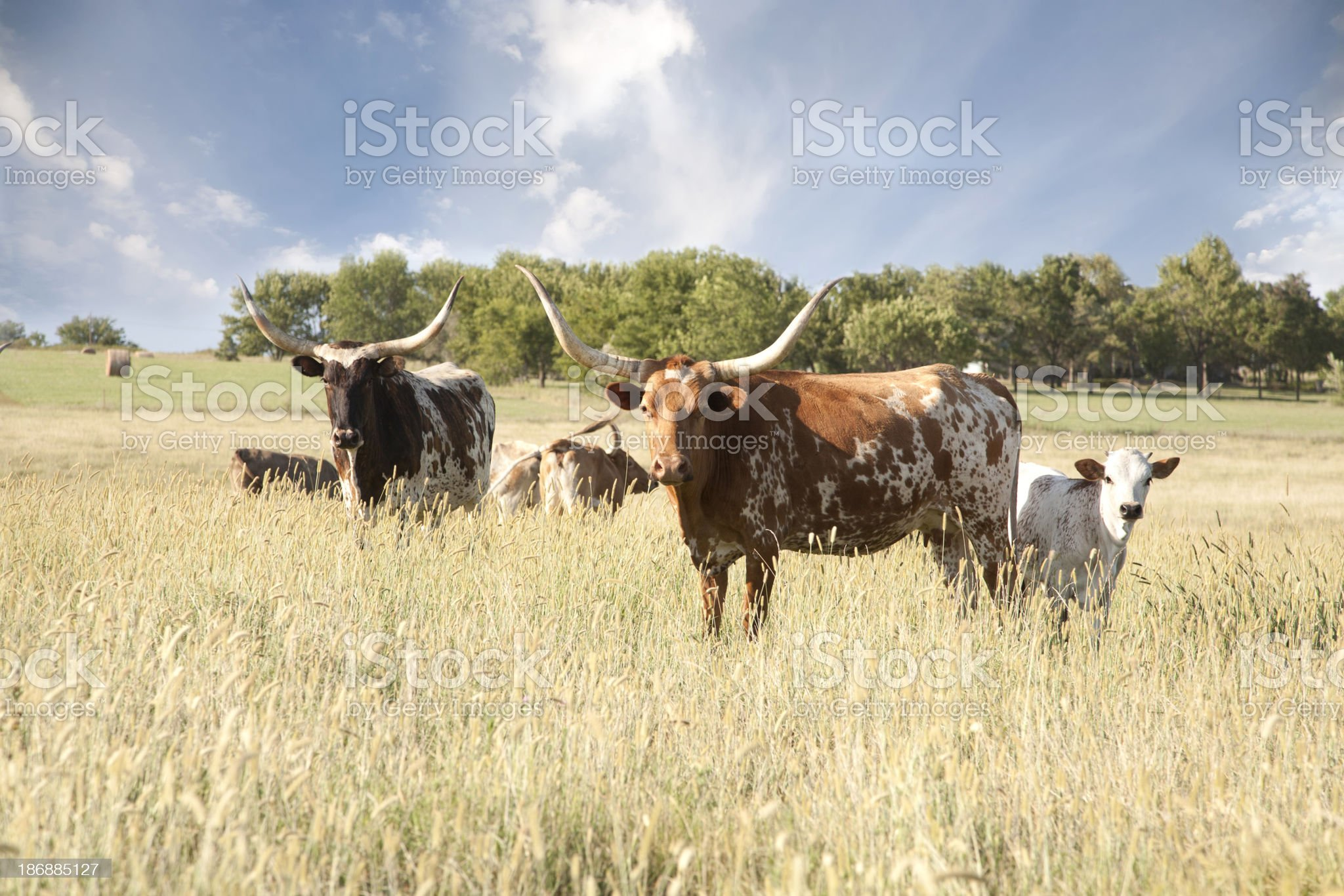Texas Longhorn Herd In Field royalty-free stock photo
