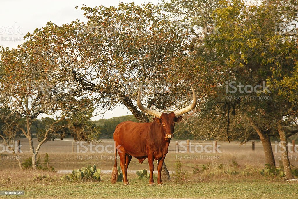 Texas longhorn in a meadow royalty-free stock photo