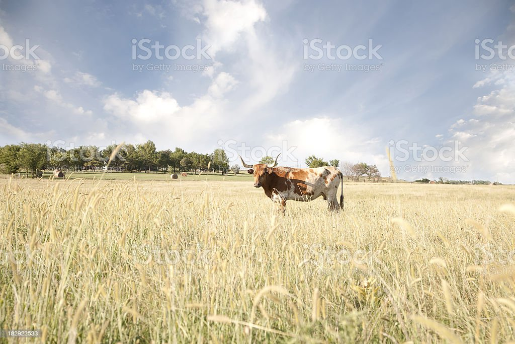 Texas Longhorn In Field royalty-free stock photo