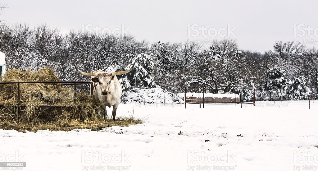 texas longhorn in snow stock photo