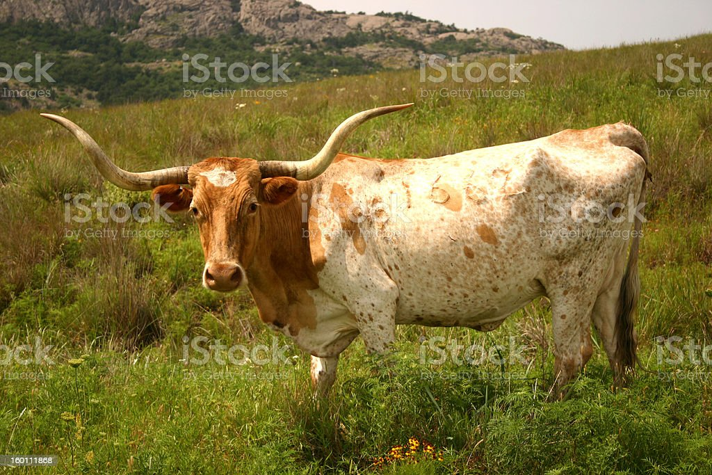 Texas Longhorn in the Wichita Mountains of Oklahoma royalty-free stock photo