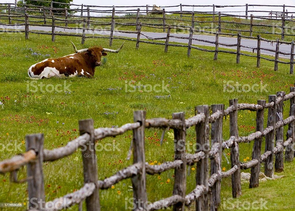 Texas Longhorn in Wildflowers stock photo