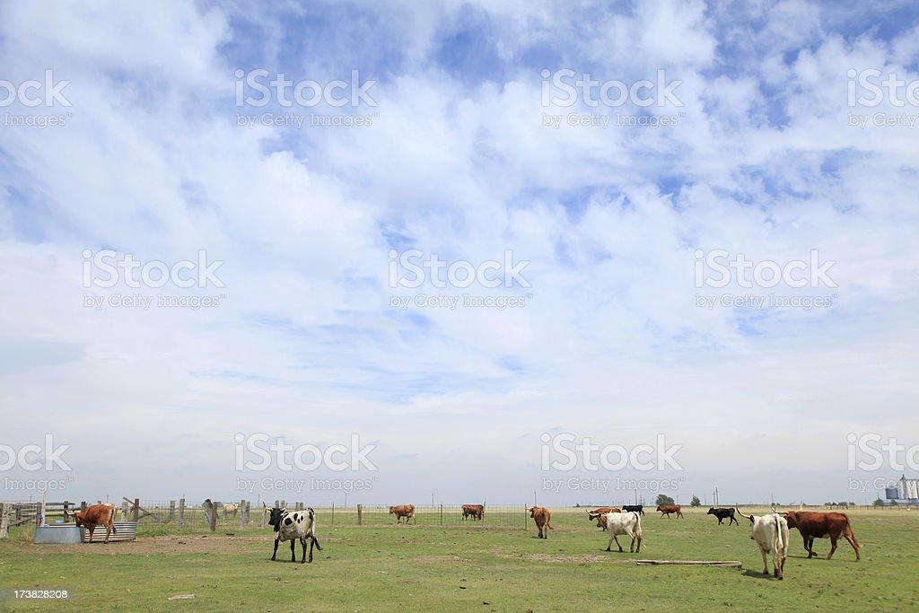 Texas Longhorn Landscape stock photo