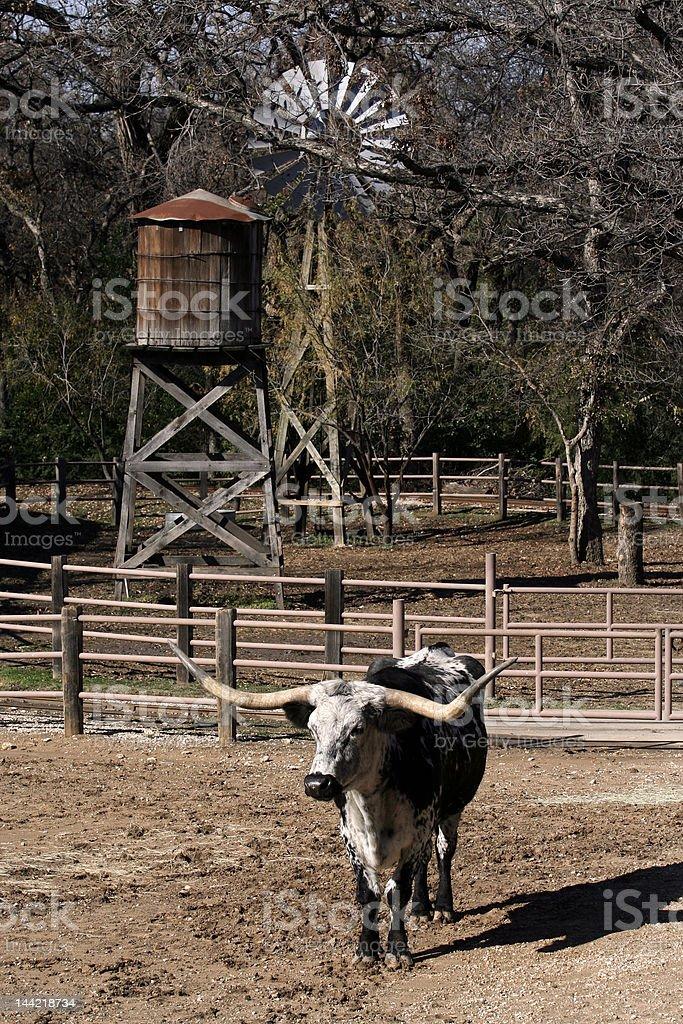 texas longhorn royalty-free stock photo