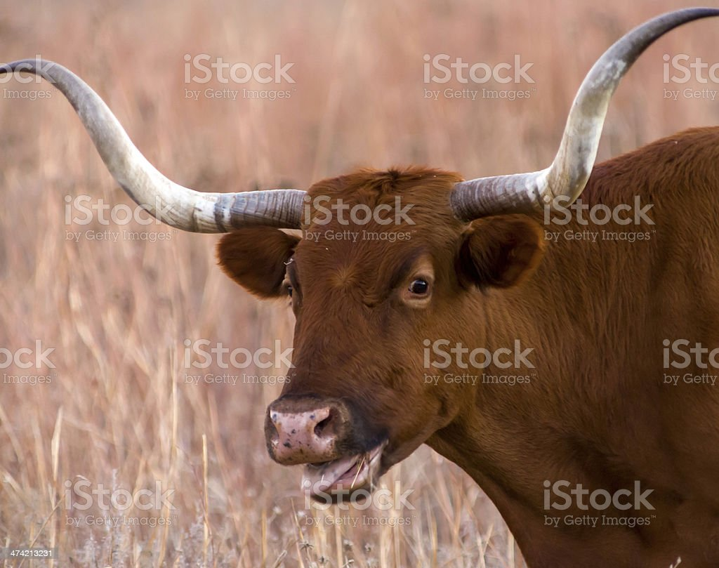 Texas Longhorn stock photo