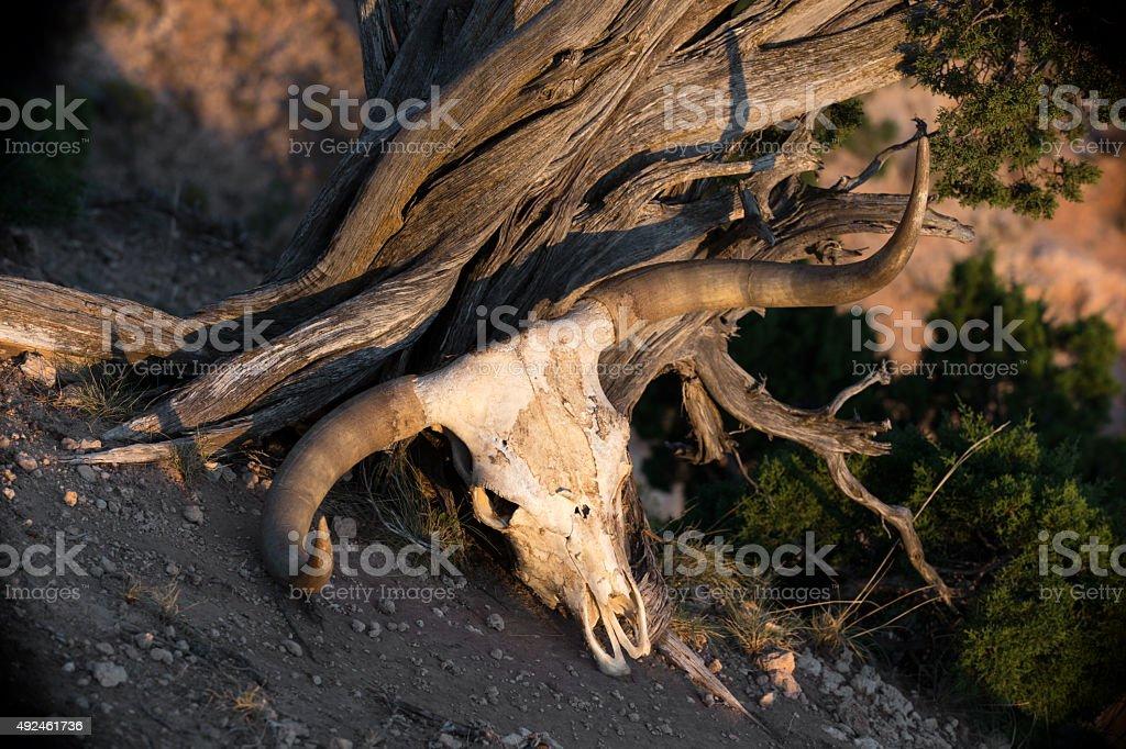 Texas Longhorn skull stock photo