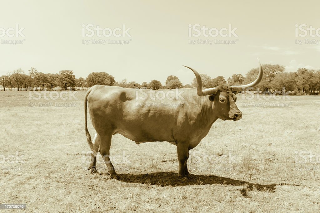 Texas longhorn standing on grass royalty-free stock photo