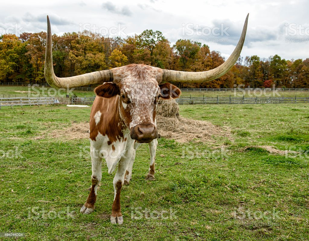 Texas Longhorn Steer Looking Straight at the Viewer stock photo