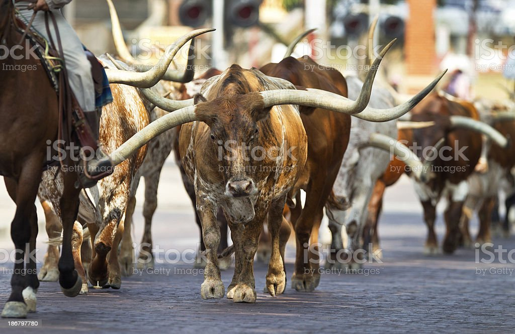 Texas Longhorns At The Fort Worth Stockyards. stock photo