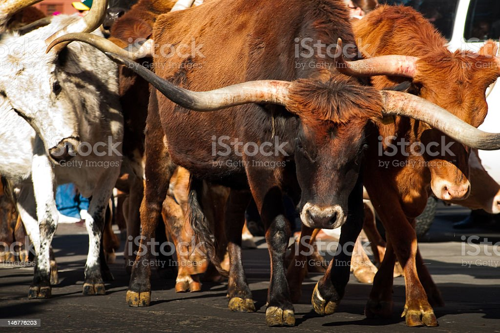 Texas Longhorns stock photo