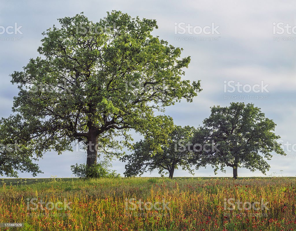 Texas meadow of oak trees and multicolored wildflowers royalty-free stock photo